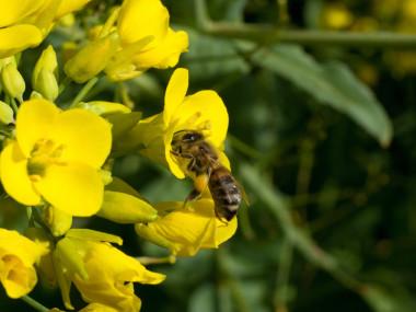 bee-rape